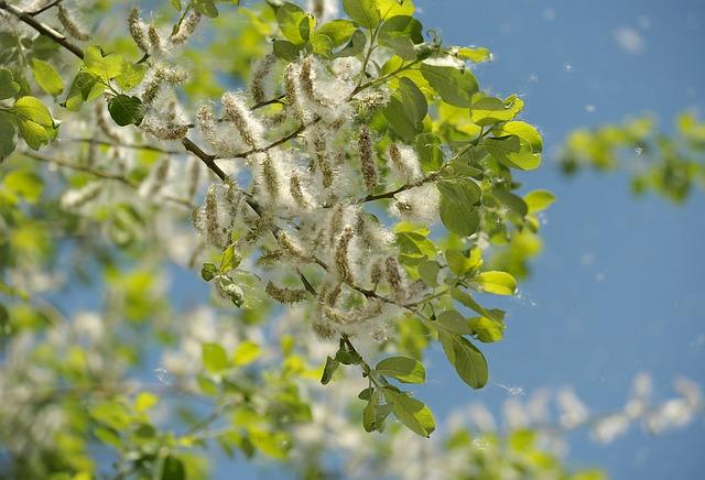 ポプラ花粉